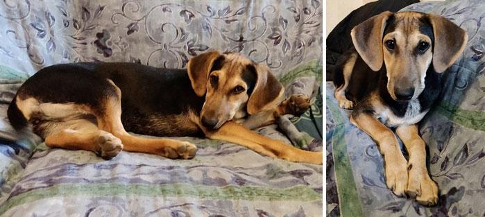 Adoptoi koira Kreetalta. Kuvassa luppakorvainen Missi.