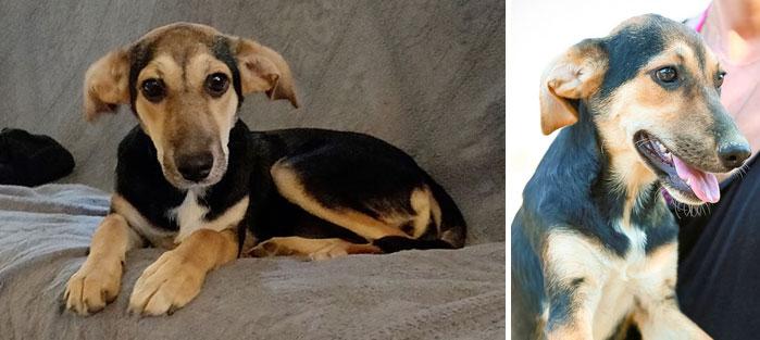 Adoptoi koira Kreetalta. Kuvassa luppakorvainen Phoebelle.
