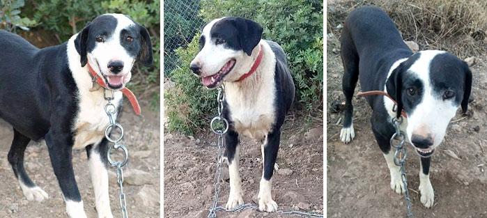 Adoptoi koira Kreetalta Hard Luck Paws yhdistyksen kautta. Kuvassa ruskeakarvainen CELESTE.