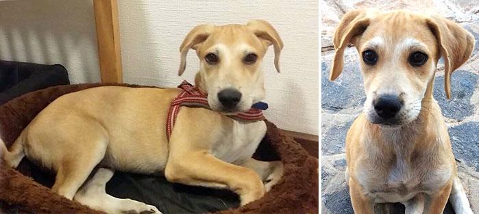Adoptoi koira Kreetalta Hard Luck Paws yhdistyksen kautta. Kuvassa vaaleakarvainen JOONATAN.