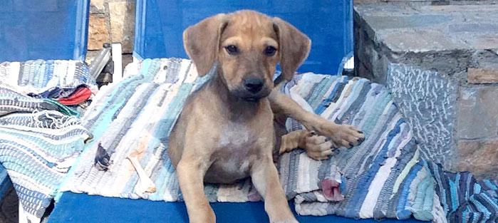 Adoptoi koira Kreetalta Hard Luck Paws yhdistyksen kautta. Kuvassa vaaleakarvainen KASPER.