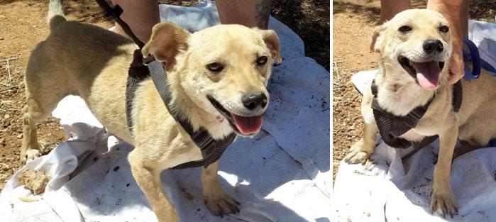 Adoptoi koira Kreetalta Hard Luck Paws yhdistyksen kautta. Kuvassa ruskeakarvainen TODD.