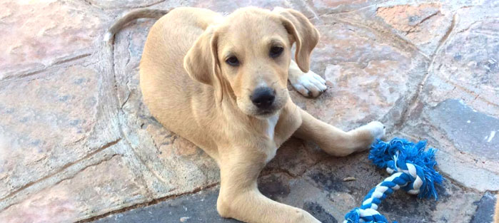 Adoptoi koira Kreetalta Hard Luck Paws yhdistyksen kautta. Kuvassa vaaleakarvainen JESPER.