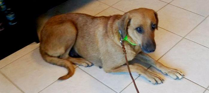 Adoptoi koira Kreetalta Hard Luck Paws yhdistyksen kautta. Kuvassa ruskeakarvainen KARDEMUMA.