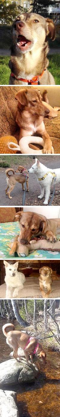 Kreetalta adoptoitu Sia-koira nauttii elämästään Suomessa uudessa kodissaan.