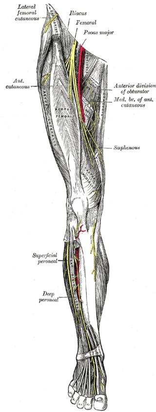 Kuva: Gray´s anatomy